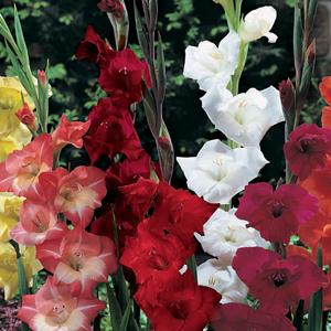 Gladioli 'Primulinus Mixed' Bulbs 10 Per Pack