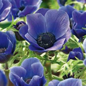 Anemone Bulbs Coronaria Mr Fokker 20 Per Pack