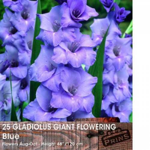 Gladioli (Gladiolus) Giant Flowering Blue Bulbs 25 Per Pack