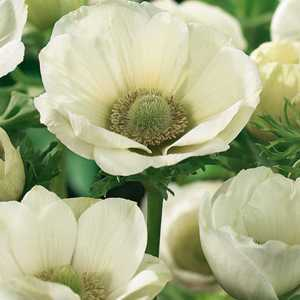 Anemone Bulbs Coronaria The Bride 20 Per Pack