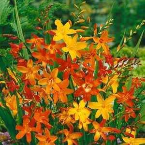 Crocosmia Montbretia Mixed Bulbs 20 Per Pack