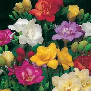 Freesia Double Mixed Bulbs 20 Per Pack