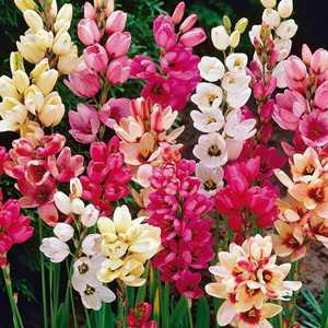 Ixia Hybrid Corn Lily Mixed Bulbs 20 Per Pack