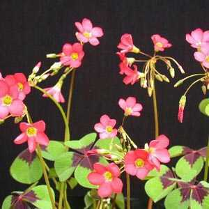 Oxalis Deppei Lucky Clover / Good Luck Shamrock Bulbs 20 Per Pack