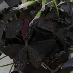 Oxalis Triangularis (Purple Shamrock) Bulbs 5 Per Pack