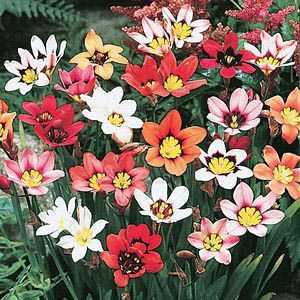 Sparaxis Tricolor (Harlequin Flower) Bulbs 20 Per Pack