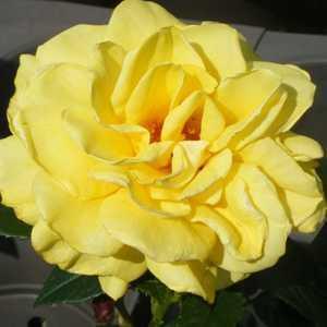 Rose Bush Golden Wedding (Arokris) Floribunda Rose Yellow 4Ltr