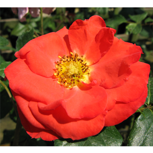 Rose Bush Orange Sensation Floribunda Rose Orange 4Ltr