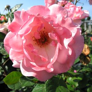Rose Bush Valentine Heart Floribunda Rose Soft Pink 4Ltr