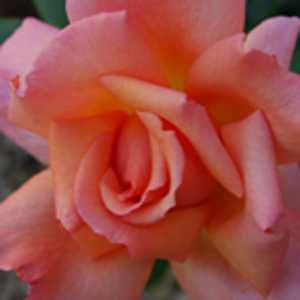Rose Climbing Compassion (Climber) Salmon Pink