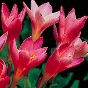 Zephyranthus Habranthus Robustus 'Rain Lilies' Bulbs 15 Per Pack