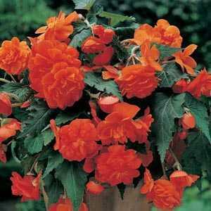 Begonia Cascade Orange Bulbs 3 Per Pack