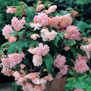 Begonia Cascade Pink Bulbs 3 Per Pack