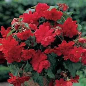 Begonia Cascade Red Bulbs 3 Per Pack
