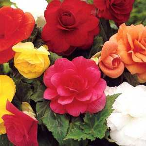 Begonia Double Mixed Bulbs 3 Per Pack