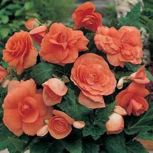 Begonia Double Orange Bulbs 3 Per Pack