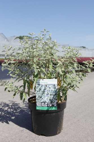 Caryopteris Clandonensis White Surprise