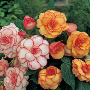 Begonia Picotee Mixed Bulbs 3 Per Pack