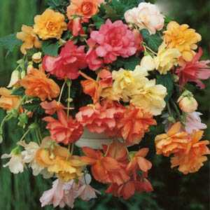 Begonia Cascade Pastel Mixed Bulbs 3 Per Pack