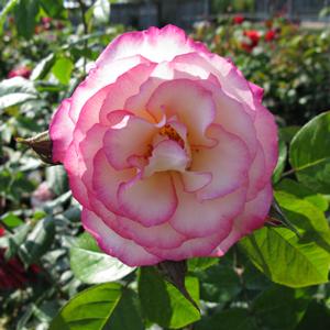 Rose Climbing Handel (Macha) Climber Cream/Pink 4Ltr