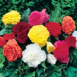 Begonia Fimbriata Mixed Bulbs 8 Per Pack