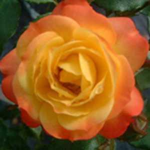 Rose Floribunda Rumba Yellow/Pink 4Ltr