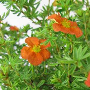 Potentilla Fruticosa 'Red Ace' 10 Ltr