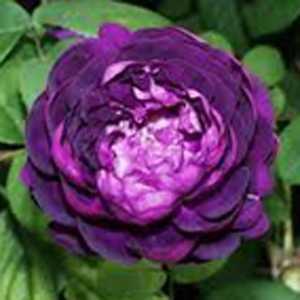 Rose Shrub Cardinal De Richelieu Purple 4Ltr
