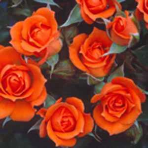 Rose Patio Wildfire (Fryessex) Orange 4Ltr