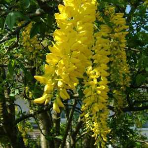 Laburnum Anagyroides (Golden Chain/Golden Rain)