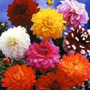 Dahlia Border Mixed Tubers/Bulbs 3 Per Pack
