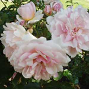 Rose Shrub Felicia Silver Pink 4Ltr