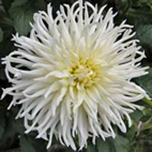 Dahlia Cactus Purple White / White Tubers/Bulbs 3 Per Pack