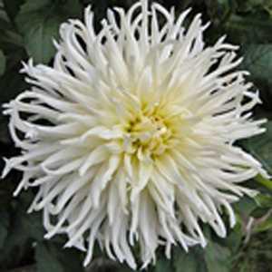 Dahlia Cactus Purple White / White Tubers/Bulbs 3 Per Pack