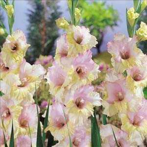 Gladioli (Gladiolus) Mon Amour Giant Flowering Bulbs 25 Per Pack