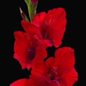 Gladioli (Gladiolus) Giant Flowering Red Bulbs 25 Per Pack