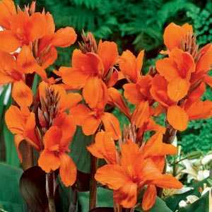Canna Wyoming Bulb 1 Per Pack
