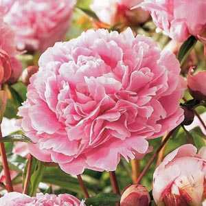 Paeonia (Peony) Pink Bulbs 1 Per Pack