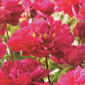 Paeonia (Peony) Red Bulbs 1 Per Pack