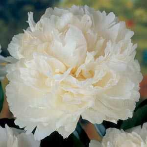 Paeonia (Peony) White Bulbs 1 Per Pack