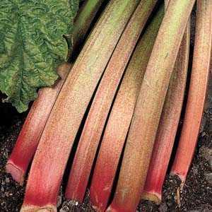 Rhubarb Victoria Rheum Bulb 1 Per Pack