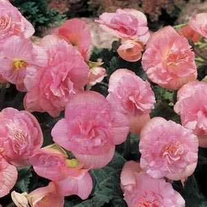 Begonia Non Stop Flowering Pink Bulbs 3 Per Pack