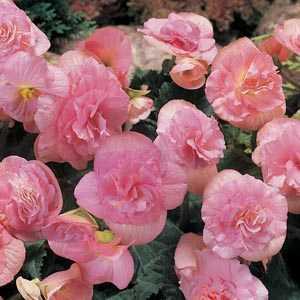Begonia Non Stop Flowering Pink Bulbs 3 Per Pack