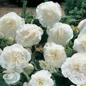 Begonia Non Stop Flowering White Bulbs 3 Per Pack