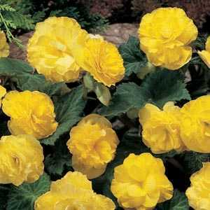 Begonia Non Stop Flowering Yellow Bulbs 3 Per Pack