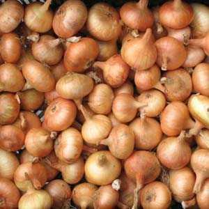 Yellow Onion Sets Stuttgarten Riesen 50 Per Pack