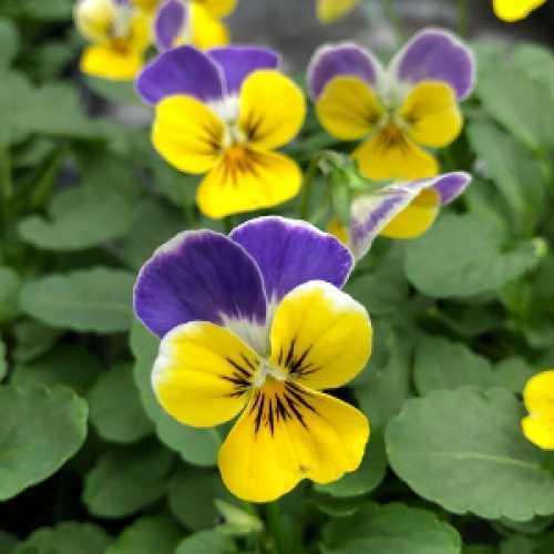 Viola Winter Flowering Bedding Plants Single Colours - 10 Per Tray
