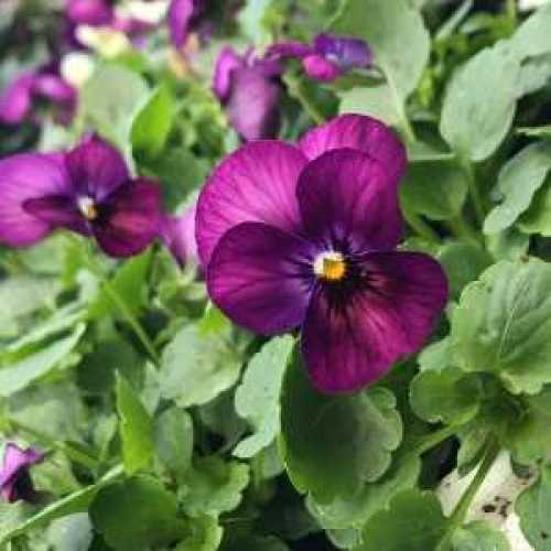Viola Bedding Plants Single Colours (12 Plants)