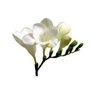 Freesia Single White Bulbs 20 Per Pack
