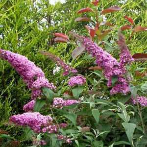 Buddleia Davidii (Buddleja) Pink Delight (Butterfly Bush) 10ltr